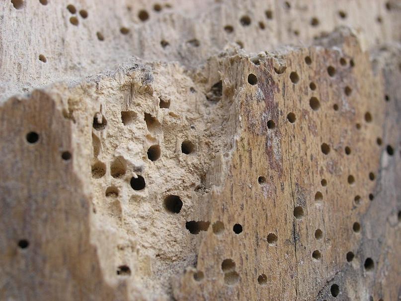 Повреждение дерева жуками короедами