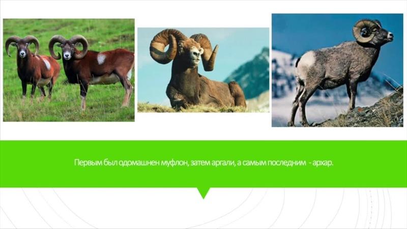 Одомашнивание коз и овец