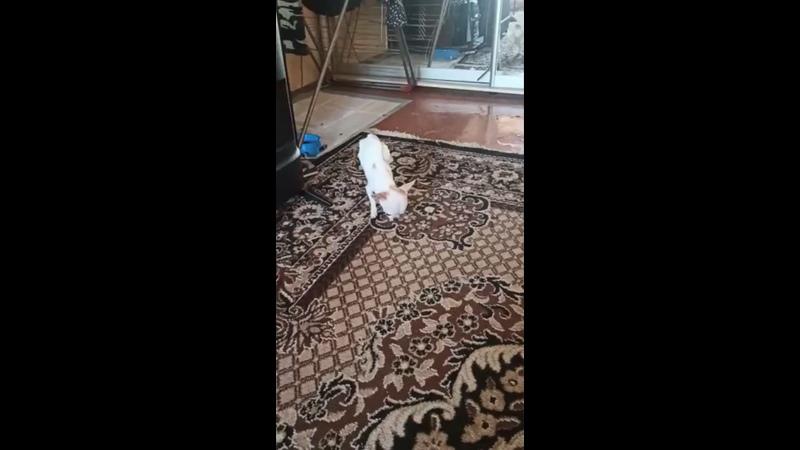 Видео от ХелпДогМини СПБ Помощь миниатюрным породам собак