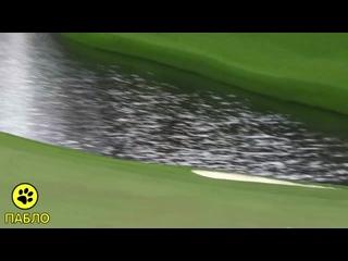 Джон Рам - лучший удар в истории гольфа. 10 ноября 2020