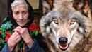 Волк спас бабулю от непрошеных гостей Год назад она взяла его волчонком, приняв за щенка.