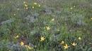 Скифские тюльпаны на склонах Керчи. Весны красоты. Не рвите цветы, не рвите !