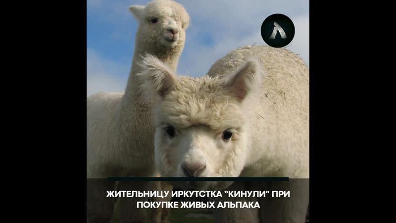 Девушку из Иркутска развели при покупке Альпака АКУЛА