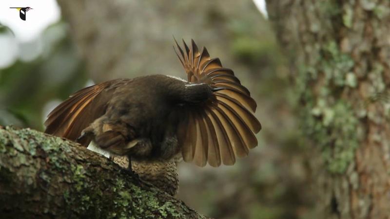 Subadult Paradise Riflebird Practices Courtship Display