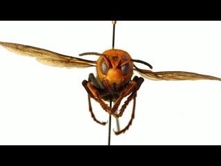 Asian 'murder' hornets make first U.S. appearance