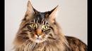 Как лечить кота от головной боли ОПЫТ