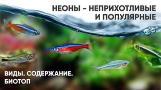Неоны - неприхотливые аквариумные рыбки. Виды. Содержание. Биотоп