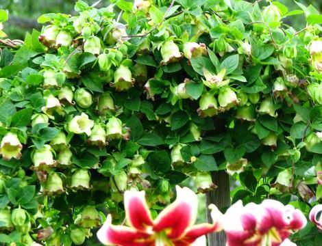 Кодонопсис Кодонопсис многолетнее травянистое растение семейства кампануловых (колокольчики). Это прекрасная лиана широко используется в озеленении садовых участков. Вьющая, морозостойкая,