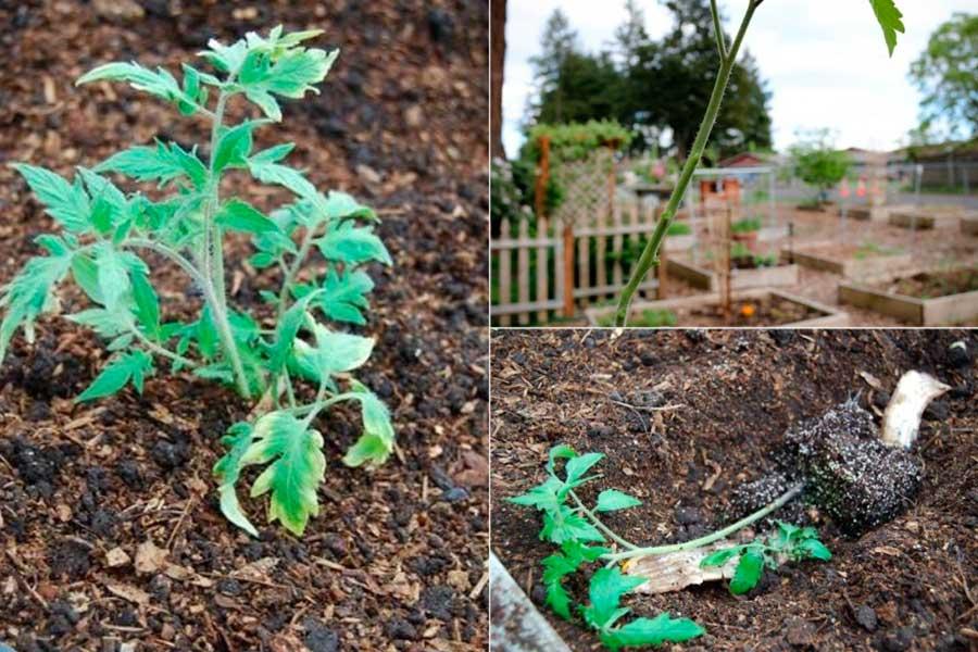 Посадка переросшей рассады томатов в теплицу
