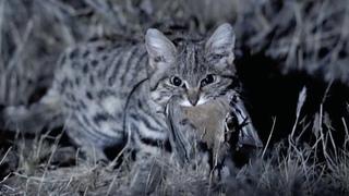 Муравьиный Тигр- Самый СМЕРТОНОСНЫЙ дикий кот Африки и неуловимый ночной мститель
